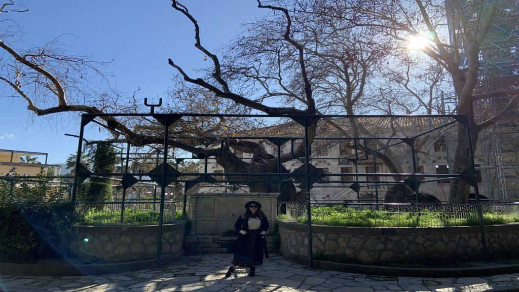 kos hipokrat ağacı